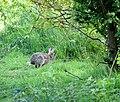 Hopping for cover - geograph.org.uk - 1293279.jpg