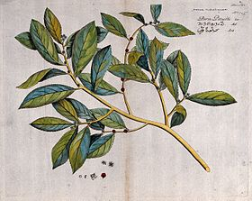 Hosea malabarica; branch with flowers and fruit, separate fl Wellcome V0042622.jpg