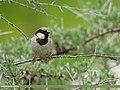 House Sparrow (Passer domesticus) (29349452965).jpg