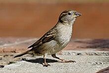 pássaro pequeno com barriga e peito pálidos e asa e cabeça estampadas fica no concreto