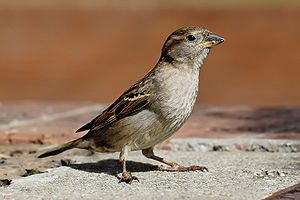 Neotheropoda - A house sparrow (Passer domesticus)