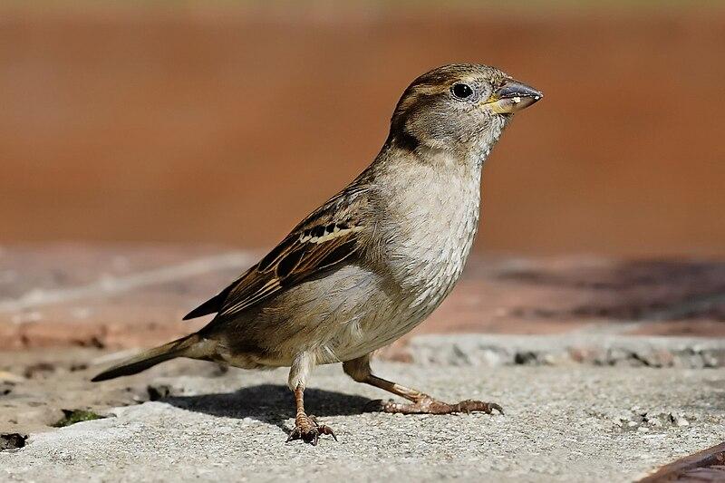 House sparrow04.jpg