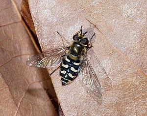 Syrphoidea - Scaeva pyrastri