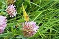 Hufeisenklee-Gelbling (Colias alfacariensis) (2).jpg