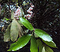 Humboldtia brunonis Wall. 08.JPG
