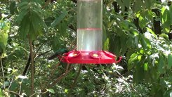 Податотека:Hummingbirds in Costa Rica.webm