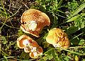 Hydnum rufescens, forêt de Longeville-lès-Saint-Avold.jpg