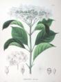 Hydrangea macrophylla SZ55.png