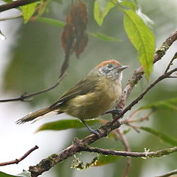 Hylophilus poicilotis-Rufous-crowned Greenlet.JPG