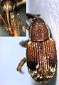 Hypotagea lewisi female.jpg