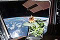 ISS-46 Zinnia flower in the Cupola (2).jpg