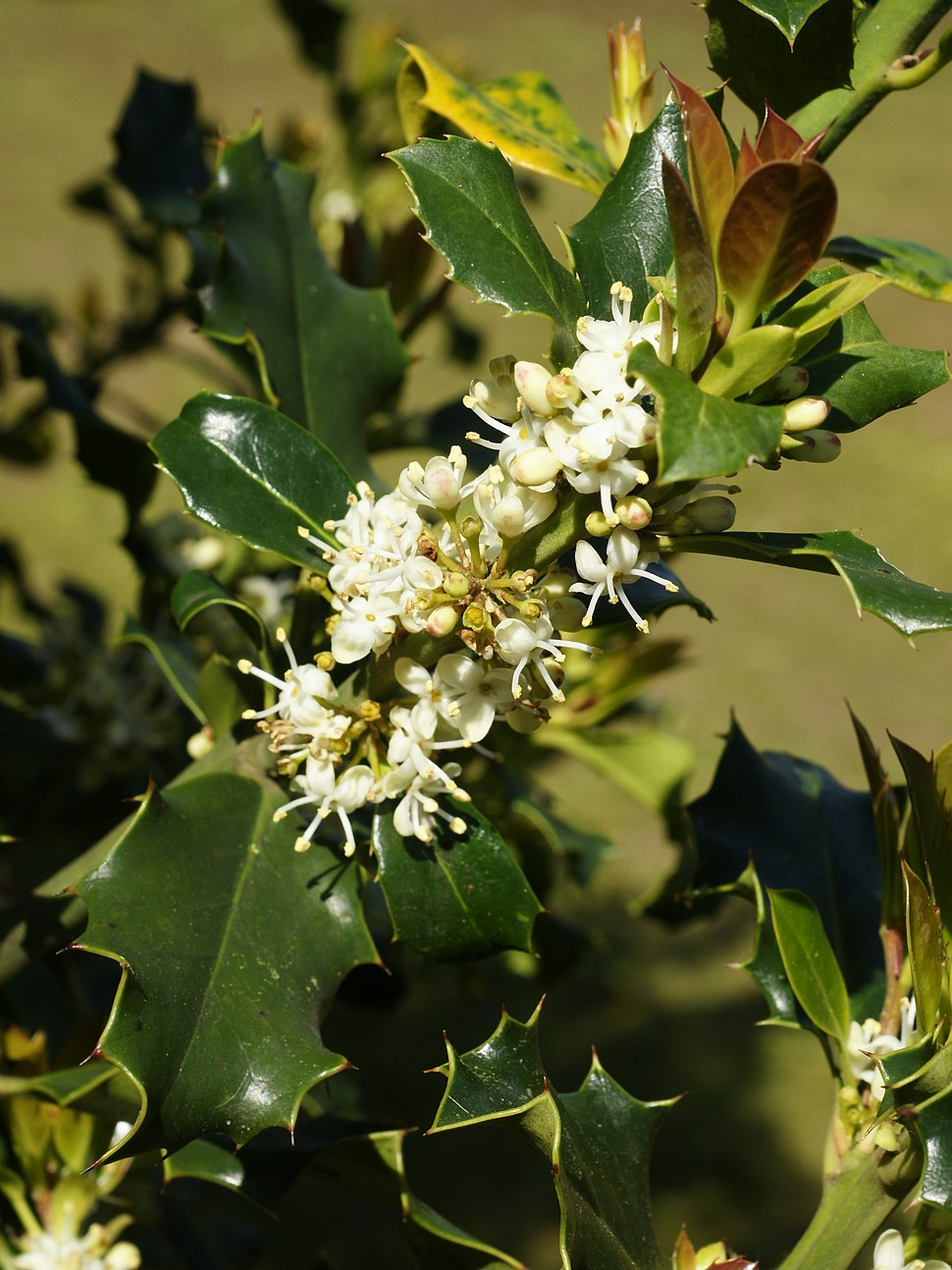 Ilex aquifolium (flowers)