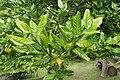 Ilex perado subsp. perado kz03.jpg