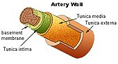 The arterial wall has three layers. In cerebral amyloid angiopathy, beta-amyloid accumulates in the middle layer, the tunica media, and the outer layer, the tunica externa.