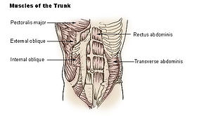 Illu trunk muscles.jpg