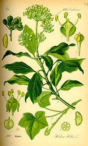 Illustration Hedera helix0.jpg