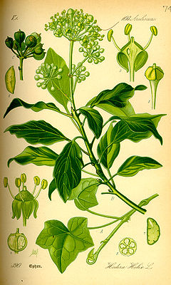 Eefeu (Hedera helix), Illustrajioon