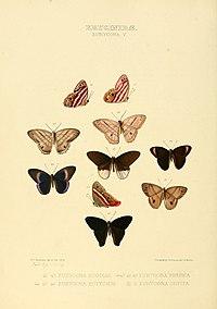 Illustrations of new species of exotic butterflies Eurygona V.jpg