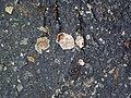 Impact breccia (Sandcherry Member, Onaping Formation, Paleoproterozoic, 1.85 Ga; High Falls roadcut, Sudbury Impact Structure, Ontario, Canada) 37 (46970564474).jpg
