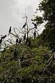 Indian Cormorant(Indian Shag)Phalacrocorax fuscicollis JEG4235.JPG