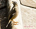 Indian Myna on the Roof (7010963513).jpg