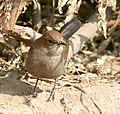 Indian Robin (F) I2 IMG 8820.jpg