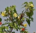Indian Tulip tree (Thespesia populnea) flowers W IMG 6873.jpg