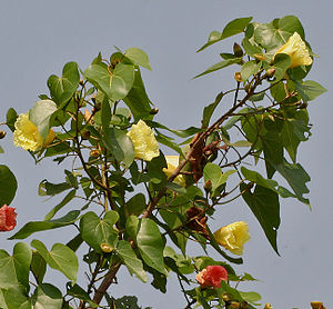 Indian Tulip tree (Thespesia populnea) flowers W IMG 6873.jpg