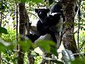 Indri Perinet Madagascar - panoramio (1).jpg
