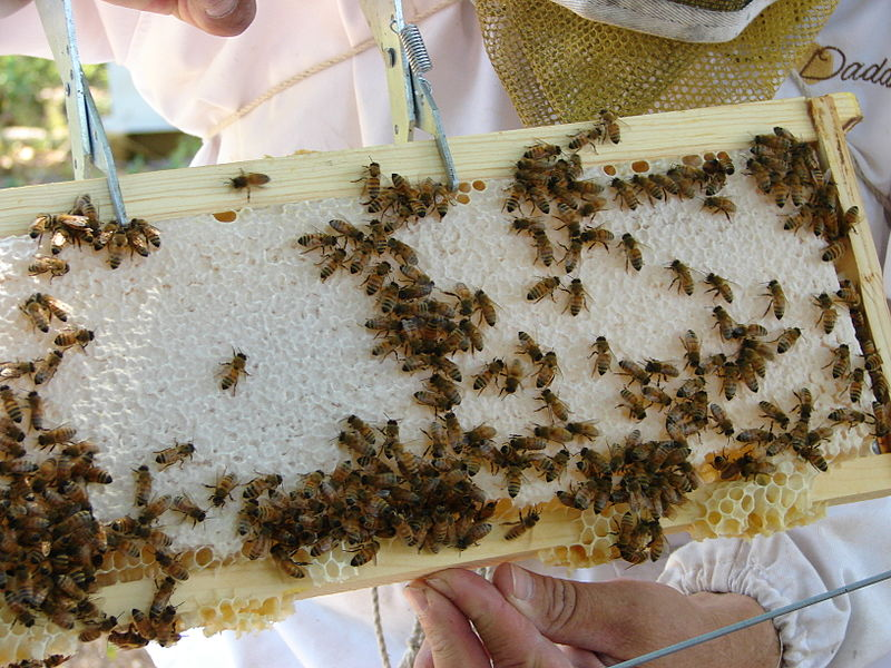 File:Inspecting the bees' work.JPG