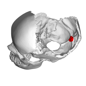 Internal occipital protuberance - Position of internal occipital protuberance (shown in red). Parietal bones removed.