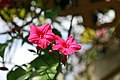 Ipomoea horsfalliae 6zz.jpg