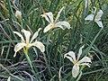 Iris fernaldii (8644980042).jpg