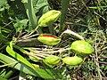 Iris foetidissima-capsules-1.jpg