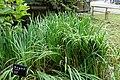 Iris pseudacorus - Chusonji, Hiraizumi, Iwate - DSC04900.jpg