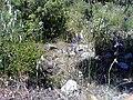 Iris xiphium Habitat2 17May2009 DehesaBoyaldePuertollano.jpg