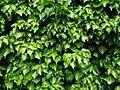Ivy-783084 640.jpg