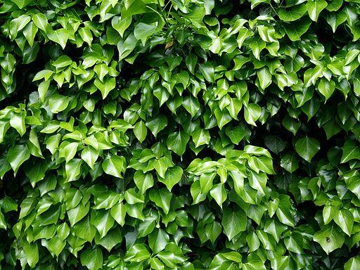 Ivy-783084 640