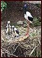 Jabaroo and Chicks-3and (4197624299).jpg
