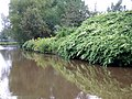 Japanese Knotweed on the Trent and Mersey Canal, Stoke-on-Trent, , Staffordshire - geograph.org.uk - 555840.jpg