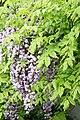 "Japanese Wisteria (Wisteria floribunda) ""Violacea Plena"" (3502718027).jpg"