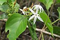 Jasminum malabaricum - Malabar Jasmine at Blathur 2014 (5).jpg
