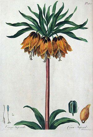 John Edwards (painter) - Crown Imperial FritallariaThe British Herbal