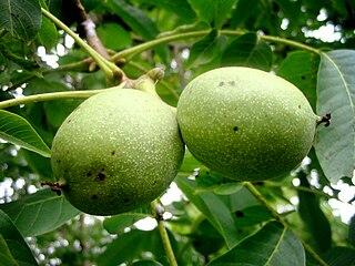Dozrievajúce plody vlašských orechov