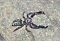 Jumping spider Bavia sexpunctata. (8402076421).jpg