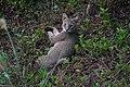 Jungle cat 09524.jpg