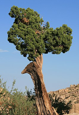 Een oude boom in Joshua Tree National Park