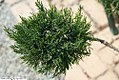 Juniperus chinensis Monlep 1zz.jpg