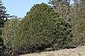 Juniperus maritima 6670.JPG
