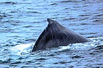 Just as dinner was about to be served we were blessed with a feeding orgy of Humpback whales right in front of the ship, forcing the captain to stop in the middle of the Gerlache strait.spectacular (25976352896).jpg